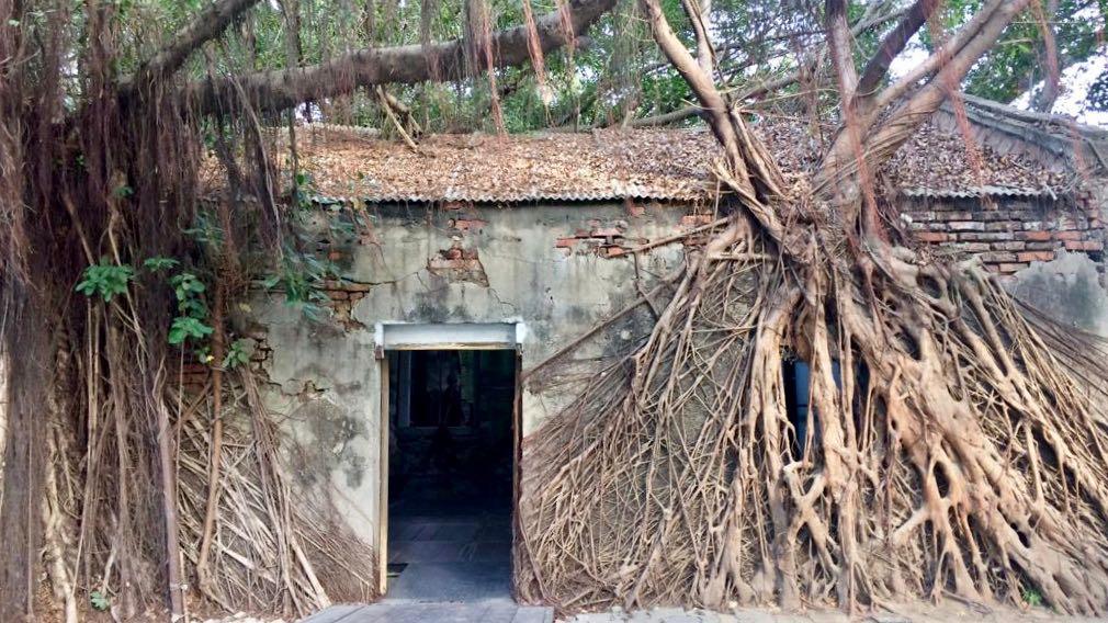 radici di Ficus Benjamin sui muri